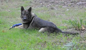 Police Dog Blue from the BCH Dog Unit